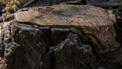 Photo of 180 yıllık meşe ağacını söken çifte 586 bin dolar para cezası
