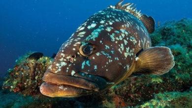 Photo of Hayvancılık Dairesi orfoz, lagos ve eşkine balıklarının avının yasak olduğunu duyurdu