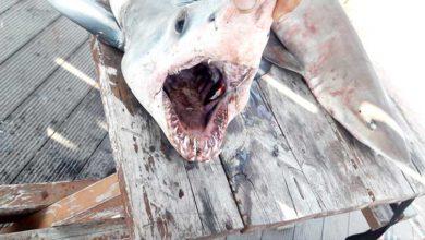 Photo of Köpek balıklarının hazin sonu