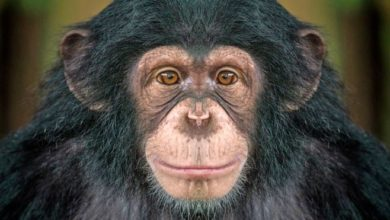 Photo of Birlikte video izleyen şempanzelerin aralarındaki bağ ve yakınlık güçleniyor
