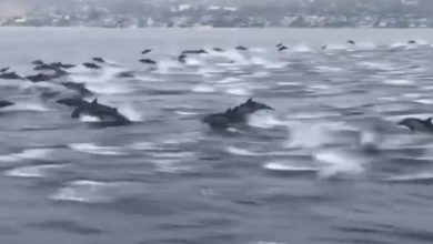 Photo of ABD'de kalabalık bir yunus sürüsü balıkçılarla birlikte yüzdü
