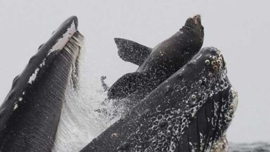 Photo of Balinanın deniz aslanını 'yutma' anı görüntülendi