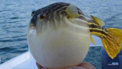 Photo of Balıkçılara, balon balıkları için 180 bin TL ödendi
