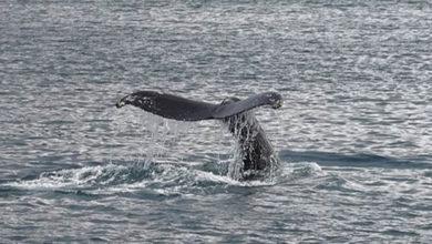 Photo of Dişi çubuklu balinalar yavrularına 'fısıldıyor'