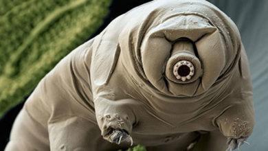 Photo of Bilim insanları, su ayılarının nasıl 'tank' kadar dayanıklı olduğunu buldu