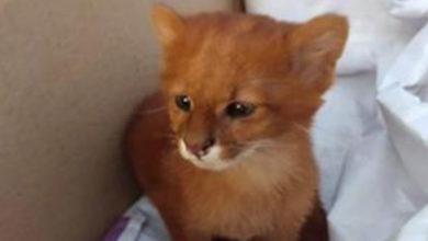 Photo of 'Kedi yavruları' sanıp evde beslediği hayvanlar puma çıktı