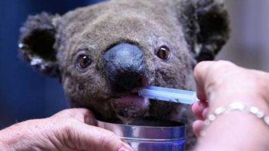 Photo of Avustralya yangınları: Ülkede kereste için onlarca koala öldürüldü, hayvan katliamı büyük öfke yarattı