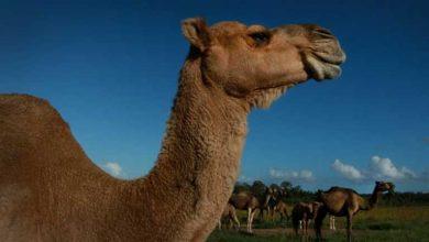 Photo of Avustralya'da 5 bin yabani deve, 'kuraklık nedeniyle' öldürüldü