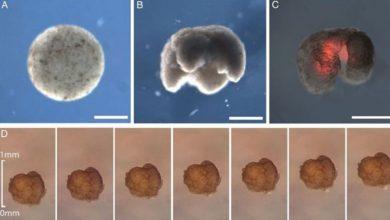 Photo of İlk kez kurbağaların kök hücrelerinden canlı robotlar üretildi