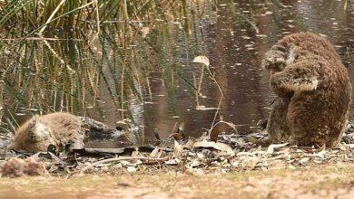 Photo of Yangından sağ kurtulan koala ölen arkadaşının başında 'yas tuttu'