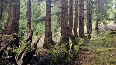 Photo of Ordu'da bir ağaç, gövdesinde 17 ağaç büyüttü