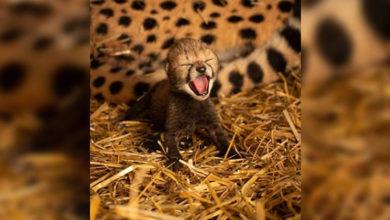 Photo of Dünyanın ilk yapay döllenmiş çita yavruları doğdu
