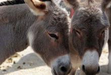 Photo of Kenya et ve derileri için eşek kesmeyi yasaklıyor