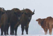Photo of 'Özgürlüğüne düşkün' inek çiftlikten kaçıp bizon sürüsüne katıldı