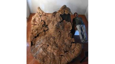Photo of Araba büyüklüğünde kaplumbağa fosili bulundu