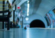 Photo of Doğal yaşam fotoğrafları: Dövüşen metro fareleri halk jürisi ödülünü kazandı