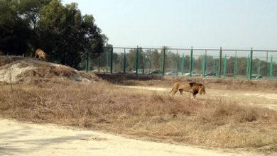Photo of Pakistan'da 17 yaşındaki gencin kemikleri aslan kafesinde bulundu