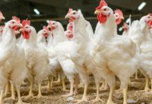 Photo of Çekya'da kuş gribi nedeniyle 130 bin tavuk itlaf ediliyor