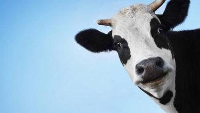 Photo of Hint milletvekili, Corona virüsüyle mücadelede inek idrarının içilmesini önerdi