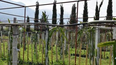 Photo of Lapta'da ejder meyvesi üretimi yapılıyor