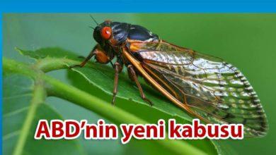 Photo of ABD'de milyonlarca ağustos böceği endişesi