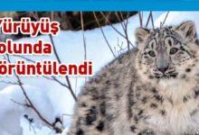 Photo of Kazakistan'da kar leoparları karantinayı fırsat bilerek şehre indi