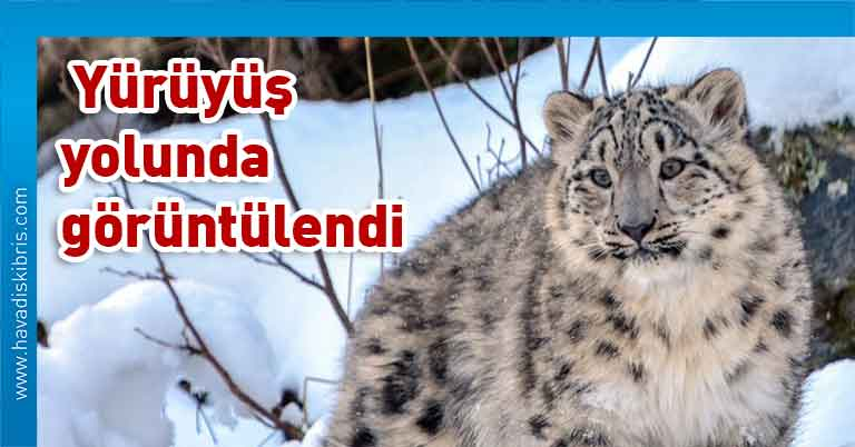 kar leoparları