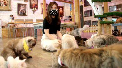 Photo of Tayland'daki Kedi Cafe karantina sonrası tekrar açıldı