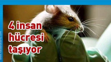 Photo of Bilim insanlari yüzde dördü insan olan fare üretti