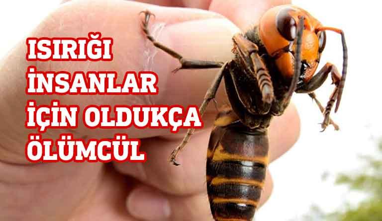 katil Arı