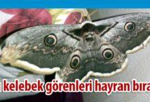 Photo of Kanat açıklığı 16 santimetre olan kelebek şaşırttı