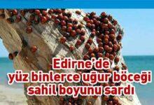 Photo of Saros Körfezi'nde uğur böceği istilası