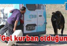 Photo of Türkiye'de kaçan dana ortalığı birbirine kattı