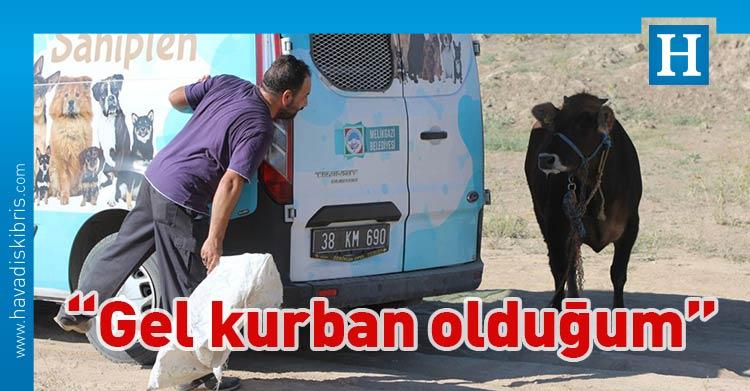 kaçan kurbanlık dana, Türkiye,
