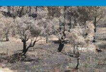 Photo of Kalkanlı Anıt Zeytin Ağaçlarının geleceği için yerinde inceleme yapılacak