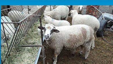 Photo of Devlet Üretme Çiftlikleri Dairesi, kurbanlık kuzu satışı yapacak