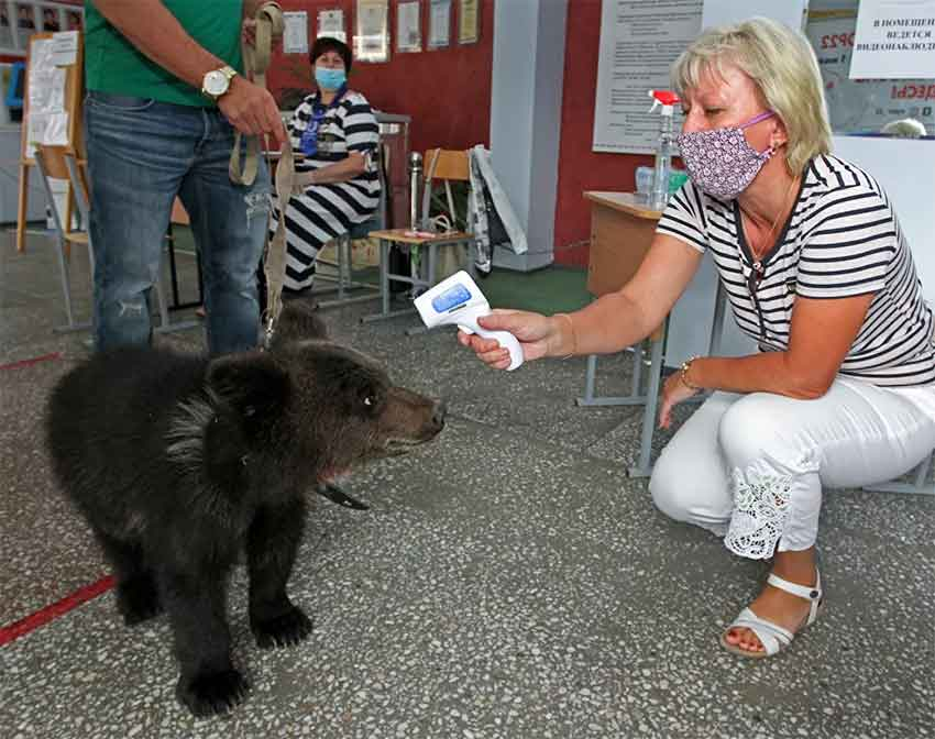 Rusya, ayı, seçim