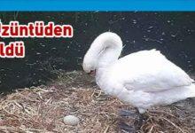 Photo of Yuvası dağıtılan ve yumurtaları ezilen kuğu üzüntüden öldü