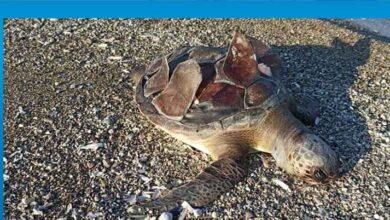 Photo of Kaplumbağaları Koruma Cemiyetinden denetim çağrısı