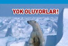 Photo of Kutup ayıları 22. yüzyılı göremeyecek