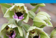 Photo of Trodos'ta nadir görülen orkide çiçek açtı