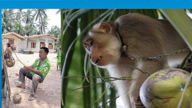 Photo of Tayland'ın işçi köleleri: Maymunlar