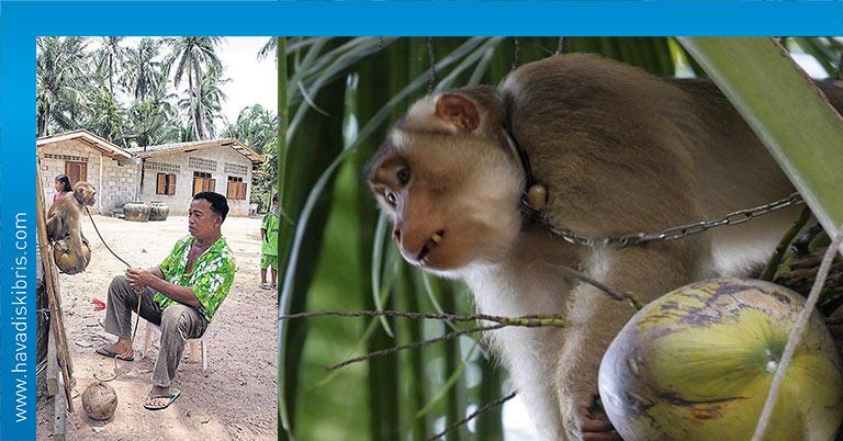 Tayland işçi maymunlar