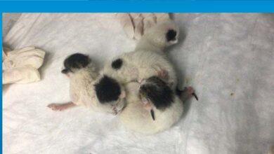 Photo of Yapışık dördüz kediler operasyonla birbirinden ayrıldı