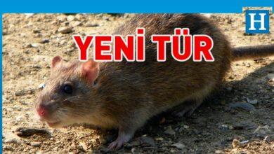 Photo of Kıbrıs'ta yeni bir tür kemirgen tespit edildi
