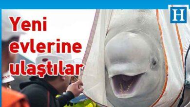 Photo of On yılın ardından açık denize dönen balinaların mutluluğu