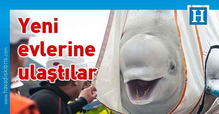 beyaz balina, Little Grey, Little White, İzlanda, Çin, Sea Life Trust,