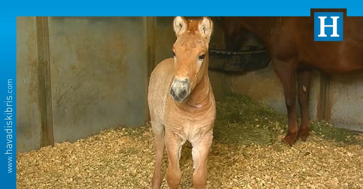 Przewalski atı