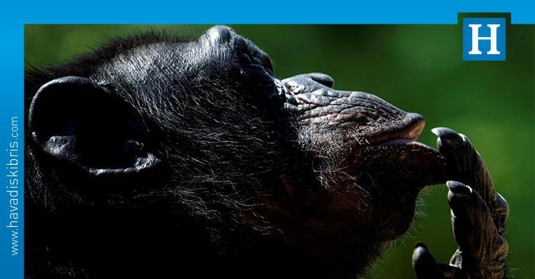 şempanze