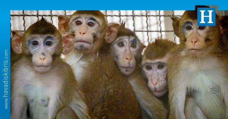 süper maymunlar